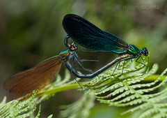 Mr & Mrs (Ali -1963) Tags: love nikon beautifuldemoiselle calopteryxvirgo tamron90mm28 d5000 makingwhoopee alisonroberts