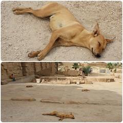 Sleeping Temple Dogs at Karnak Temple, Egypt