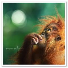 My dream (TOONMAN_blchin) Tags: orangutan singaporezoo thegalaxy toonman mygearandme mygearandmepremium mygearandmebronze mygearandmesilver mygearandmegold mygearandmeplatinum mygearandmediamond