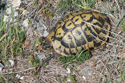 Tortue d'Hermann • Testudo hermanni (Source: Flickr)