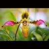 Dancing (-clicking-) Tags: orchid flower macro nature floral closeup garden petals dance flora dancing natural blossom bokeh details bloom blooming phonglan coth5 blinkagain bestofblinkwinners vietnameseflowers