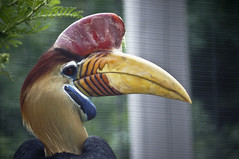 Hornbill C (larryn2009) Tags: california male bird fall animal zoo sandiego unitedstatesofamerica september 2012 sandiegocounty aceroscassidix knobbedhornbill redknobbedhornbill sulawesiwrinkledhornbill sandiegosafaripark