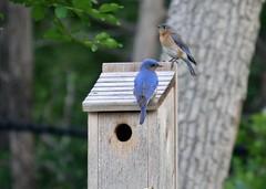 20120415 Beautiful bluebird couple -Janet Jones (Texas Bluebird Society) Tags: by jones janet bluebird eastern