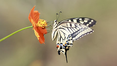 Papilio Machaon (Synghan) Tags: swallowtail swallowtails butterfly butterflies insect bug bugs nature wildlife living organism flies azalea azaleas flower flowers plant plants white large spotted spring canon eos 600d rebel t3i kiss x5 tamron 90 90mm f28 28 11 macro lens 호랑나비 나비 꽃 papiliomachaon oldworldswallowtail swallowtailbutterfly perching resting relaxation feeding orangecolour interesting awe wonder fulllength sideview depthoffield behaviour hemiptera papilionidae animal closeup magnified adjustment luminosity bright summer day 산호랑나비