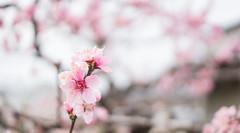 (P. Julien Mang) Tags: flower japan   blume farbe schnheit  pjulienmang