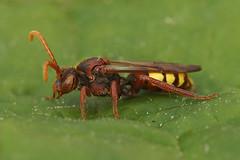 Nomada species, Kanaalbermen Bellem (henk.wallays) Tags: