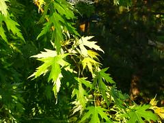 Acer saccharinum ´Wieri´ (Jörg Paul Kaspari) Tags: leaves leaf spring mai acer blatt blätter trier frühling 2016 saccharinum silberahorn parkambrüderkrankenhaus ´wieri´ acersaccharinum´wieri´