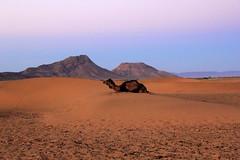 IMG_3204 (rachel_salay) Tags: africa camels zagora morrocco saharadesert desertsunrise
