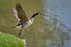 Le ballet du cygne (cyril4494) Tags: bird action lac oiseau cygne rambouillet dcollage