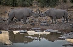 Rhino Kiss (1 of 1) (MyKeyC) Tags: namibia etosha vincentgrafhorst