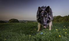 Let play (jonallsop1967) Tags: dog dogs field ball fun games germanshepherd gsd gsds