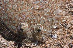 Rombou Bothus podas femelle (ppourtallier) Tags: villefranche sur mer mditerrane plonger plonge nice poisson mollusque dive sea fish mollusk aquatique eau extrieur