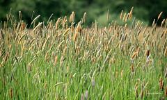 08-IMG_1864 (hemingwayfoto) Tags: blhen gras grasblte heuschnupfen natur norddeutschland ostufer pflanze regionhannover steinhudermeer wiese