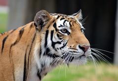 Retrato de Tigre (castorssito) Tags: nikon bigcat felines nikond3200 tigredebengala
