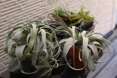 P1250702 (hsekimata) Tags: plants tillandsia ionantha 1235 gh3 xerographica seleriana