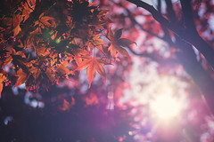 Red (StrauSeba) Tags: red sun tree rot lens spring maple pflanze lensflare flare sonne baum ahorn