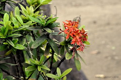 _DSC0016 (ladkatsanat1396) Tags: trees red flower macro green beach nature leaf coconut outdoor chameleon incredibleindia nikond90