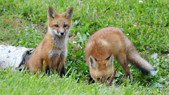 Red Fox Pups by Steve Gifford (Steve Gifford - IN) Tags: park ohio red nature birds photo pups woods state wildlife steve picture photograph oxford fox oh steven pup gifford hueston