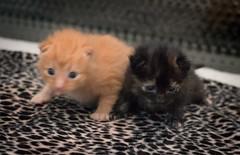 IMG_9433 (jaglazier) Tags: usa cats playing cute animals babies unitedstates tiger may indiana kittens siblings bloomington mammals blackie 2016 52416 copyright2016jamesaglazierandjamesaferguson
