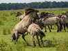 P6190123 (Rebecca_Wilton) Tags: summer horse netherlands europe wildlife nederland olympus paard em1 2016 oostvaarderplassen konikhorse zuikodigital50200mm