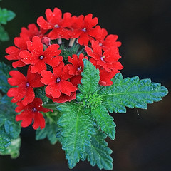 Red Flowers and Leaves (hbickel) Tags: red flower macro leaves canon pad photoaday macrolens canont6i