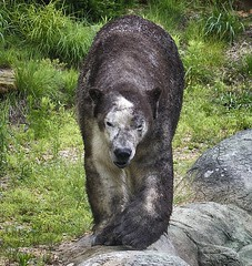 The very rare mud bear (ucumari photography) Tags: bear animal mammal zoo oso nc mud north may polarbear carolina nikita eisbr ursusmaritimus oursblanc 2016 osopolar ourspolaire orsopolare specanimal dsc2665 ucumariphotography sbjrn