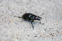 Hey Bro, do you even Beatle? (Out of Focus [sic]) Tags: small ground beatle