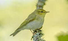 JWL8340 Wood Warbler.. (jefflack Wildlife&Nature) Tags: nature forest countryside woodlands wildlife warbler songbirds wildbirds warblers woodwarbler