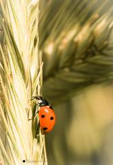 Marienkfer (isabelle.kerstof) Tags: macro canon spring ladybird makro frhling marienkfer makrofotografie canon70d