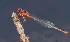 Scarlet Bluet at Stafford Forge (Tombo Pixels) Tags: scarlet newjersey ode nj pinelands damselfly rare odonata bluet odonate staffordforge scarletbluet twb1 staffordforge160073