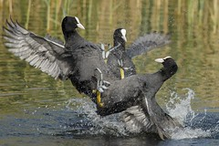 COOT FIGHT!!! (H.Rigters) Tags: bird nature animal nikon outdoor natuur coot vogel meerkoet atra fulicaatra fulica commoncoot birdfight nikon300mmf4 nikond600