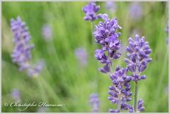 Lavande (Christophe Hamieau) Tags: depthoffield fleurs flou flowers lavande lavender macro macrophotographie macrophotography nature plante profondeurdechamp