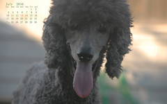 July 2016 (The Pack) Tags: dog mercury silver standard poodle standardpoodle background