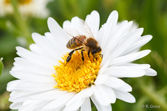 Biene 45 (rgr_944) Tags: macro tiere outdoor natur pflanzen blumen bee abeille insekten bienen bienenhummelnwespen canoneos60dcanoneos70d rgr944