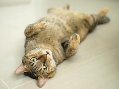 DSC09420S (lazybonessss) Tags: leica cat kitten nana summicronm50 sonya7 sonyilce7