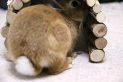Ichigo san 220 ICHIGO san  (mensore) Tags: family pet brown cute rabbit bunny dwarf netherland ichigo   netherlanddwarf
