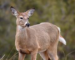 IMG_8045 White-Tailed Deer, National Bison Range (ThorsHammer94539) Tags: national bison range thegalaxy