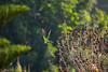 IMG_7065L4 (Sharad Medhavi) Tags: bird canoneod50d birdsandbeesoflakeshorehomes