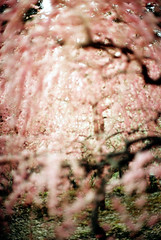 welcome to the pink world (kaori.ikt) Tags: flower film 50mm iso100 lomo bokeh f14  pentaxme  lomofilm