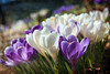 Signs of Spring (sminky_pinky100 (In and Out)) Tags: flowers white canada texture nature closeup spring pretty novascotia purple colourful goodfriday fff crocuses millefiori fantasticflower omot flickrsfantasticflowers floralessence
