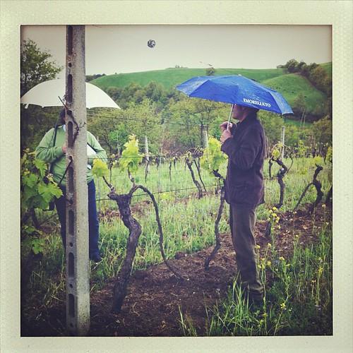 L'enologo de #lamaliosa descrive le viti franche di piede #picnicbiodinamico