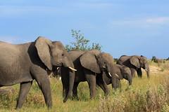 Elephants (Vladimir Nardin) Tags: africa elephant wildlife elephants botswana herd loxodontaafricana okavangodelta herdofelephants linyantiregion