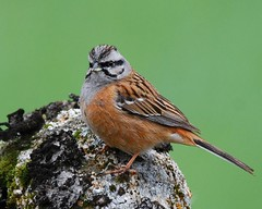 Cia / Rock Bunting (anacm.silva) Tags: wild bird portugal nature birds nikon wildlife cia natureza aves ave vidaselvagem emberizacia rockbunting serradafreita anasilva nikond40x mygearandme escrevedeiradegargantacinzenta
