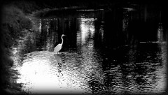 Reflections in Black and White (Chris C. Crowley) Tags: blackandwhite white lake reflection bird nature water animal fishing wildlife scenic waterbird monochromatic egret greategret chriscrowley celticsong22 reflectionsinblackandwhite