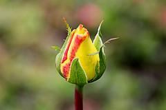 I will be... (Alexandra Rudge. Thanks for your friendship!!!) Tags: flowers roses naturaleza flower nature rose canon garden flora yellowrose bud rosales pimpollo rosaceae rosoideae rosaamarilla yellowbud californiaroses laroses pimpolloamarillo losangelesroses flickrstruereflection1 alexandrarudge southerncaliforniaroses