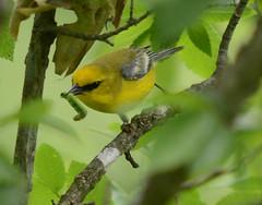 Blue-winged Warbler (lanaganpm) Tags: birds bluewingedwarbler