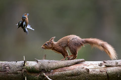 Air Brakes On! (Oliver C Wright) Tags: bird mammal flight collision chaffinch redsquirrel