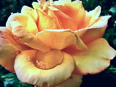 Peace Rose (Alissa Holland) Tags: flower rain rose yellow botanical gardening raindrops blush worldpeace iphone peacerose hybridtearose raindropsonroses
