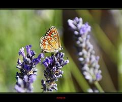 Farfalle - Butterflies (Jambo Jambo) Tags: italy flower macro butterfly nikon italia lavender tuscany siena montalcino toscana fiore farfalla lavanda castellobanfi d5000 poggioallemura jambojambo