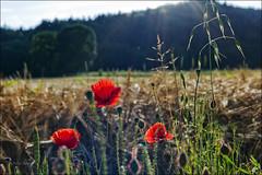 Mohn im Gegenlicht (Helmut Reichelt) Tags: leica germany deutschland bavaria sommer natur oberbayern landschaft m9 mohn geretsried colorefexpro böhmwiese leicasummaritm50mm